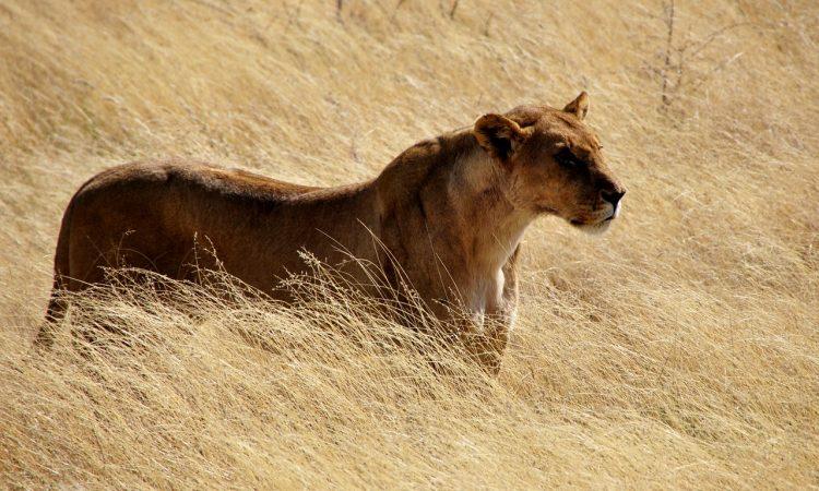 Symbol der LaMonachia 2019: eine Löwin